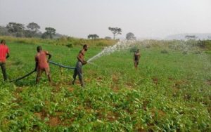 Peanut field during the dry season. Irrigation by means of an engine  KBE/APEDEM